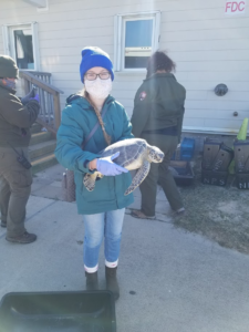 AI2ES Undergraduate Research Assistant Katie Colburn holding a cold-stunned green sea turtle